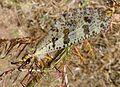 Large Ant- Lion.( Palpares libelluloides.) Myrmeleonidae. Neuroptera - Flickr - gailhampshire.jpg