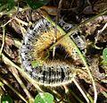 Lasiocampa species - Flickr - gailhampshire.jpg