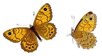 Lasiommata megera - Mauerfuchs.jpg