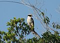 Laughing Falcon (16487116156).jpg