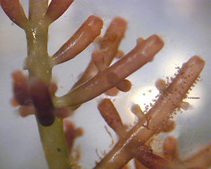 Laurencia, a marine red alga from Hawaii.