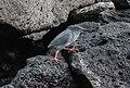Lava Heron in Santa Fe Island.jpg