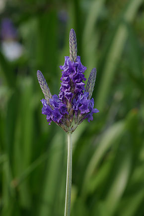 Description de l'image Lavandula multifida.jpg.