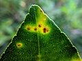 Leaf disease in lemon .jpg
