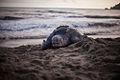 Leatherback turtle nesting in Grande Riviere.jpg
