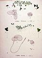 Lemna minor — Flora Batava — Volume v20.jpg