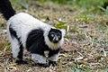 Lemur (25515272087).jpg