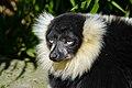 Lemur (26726568158).jpg