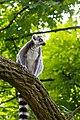 Lemur (36276424893).jpg