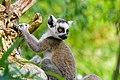 Lemur (41451971094).jpg