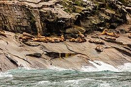 Leones marinos de Steller (Eumetopias jubatus), Bahía de la Resurección, Seward, Alaska, Estados Unidos, 2017-08-21, DD 22.jpg