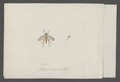 Leptis - Print - Iconographia Zoologica - Special Collections University of Amsterdam - UBAINV0274 038 12 0003.tif