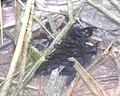 Leptodactylus01.jpg
