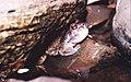 Leptodactylus syphax01.jpg