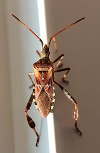 Leptoglossus occidentalis by Wulu.jpg