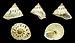 Leptopoma helicoides 01.JPG