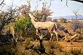 Lesser Kudu Ammelaphus Imberbis (53549610).jpeg