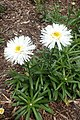 Leucanthemum × superbum 'Aglaia' 01.jpg