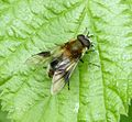 Leucozona lucorum. Male - Flickr - gailhampshire.jpg