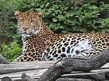 Levhart jávský v Zoo Praha 001.jpg