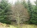 Lichen covered tree - geograph.org.uk - 315146.jpg