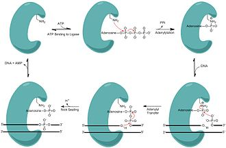 Nick (DNA) - Minimalistic mechanism of DNA nick sealing by DNA ligase