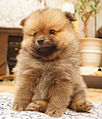Light brown puppy with very thick fur.jpg