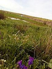 Lilas en la pequeña lagunilla.jpg