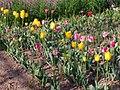 Liliales - Tulipa cultivars - 8.jpg