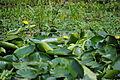 Lillies at the swamp.JPG