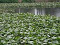 Lillypads on the pond.jpg