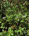 Limnophila repens.jpg