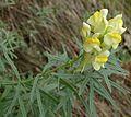 Linaria vulgaris 2.jpg