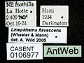 Linepithema flavescens casent0106977 label 1.jpg