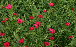Description de l'image Linum-grandiflorum-total.jpg.