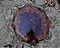 Lion's Mane Jellyfish (Cyanea capillata), Troon, South Ayrshire.jpg
