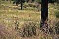Lion, Tarangire National Park (28431927910).jpg