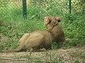Lion from Bannerghatta National Park 8481.JPG