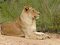 Lioness (Panthera leo) (12025528245).jpg