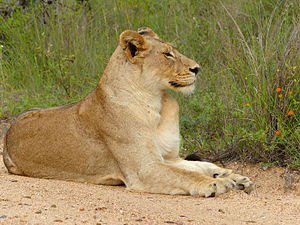 Southern African lion - Lioness in Kruger National Park, South Africa