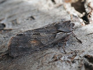 <i>Lithophane furcifera</i> Species of moth