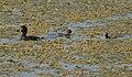 Little Grebe (Tachybaptus ruficollis) with juveniles W IMG 6793.jpg