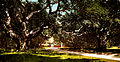 Live oaks, faculty glade at University of California (Berkeley College), ca. 1900.jpg