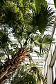 Livingstonpalme (Livistona australis) Blumengärten Hirschstetten Wien 2014.jpg