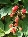 Loantaka Brook Reservation bikeway black raspberries not yet ripe and still red.jpg