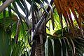 Lodoicea maldivica (Mahé).jpg