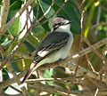 Loggerhead Kingbird .Tyrannus caudifasciatus - Flickr - gailhampshire (2).jpg