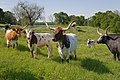 Longhorn cattle grazing. (25111309555).jpg