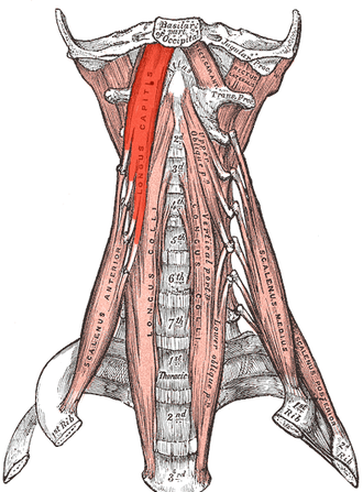 Longus capitis muscle - The anterior vertebral muscles.