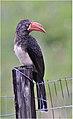 Lophoceros alboterminatus01.jpg